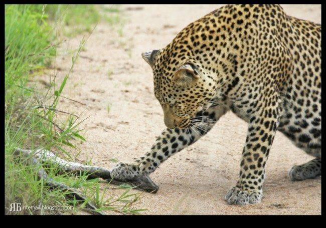 عکس   شکار مار پیتون توسط پلنگ