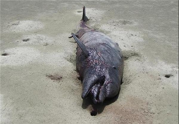 لاشه دلفین