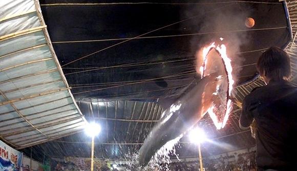 شکنجه دلفین ها برای اجرای سیرک +تصاویر