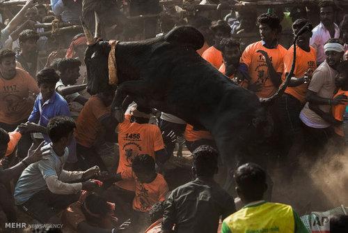 جشنواره رام کردن گاو در هند (عکس)