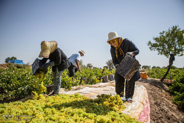 فصل تولید کشمش از باغهای تاکستان