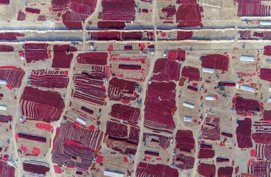 صحنهای زیبا از برداشت فلفل قرمز در چین+عکس
