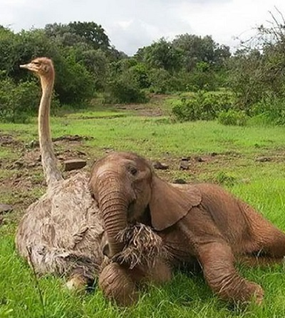 تصاویری از دوستی عجیب فیل افسرده و شترمرغ