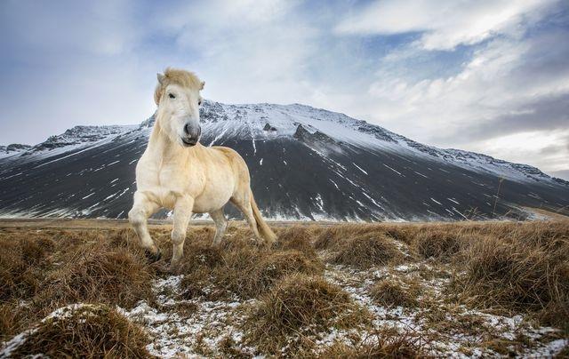 رقص اسب پاکوتاه ایسلندی/ عکس
