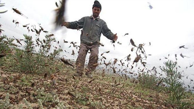 «فائو» درباره حمله جدی ملخها به مزارع کشاورزی در ایران هشدار داد