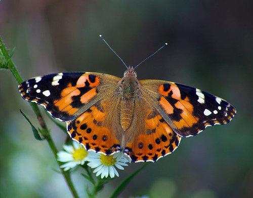 موج دوم حضور پروانهها در ایران