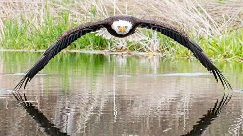 عکس خیره کننده از خیره شدن عقاب به عکاس