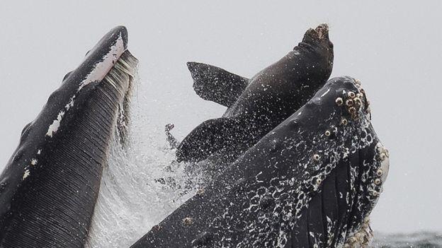 شکار لحظه بلعیده شدن شیر دریایی توسط یک نهنگ