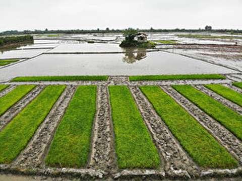 آماده سازی و خزانهگیری برنج در مازندران