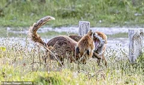لحظۀ شروعِ ناگهانی یک دعوا بین دو روباه