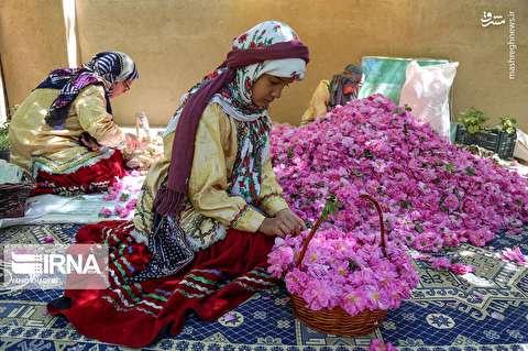 برداشت گل محمدی از «دهکده گل»