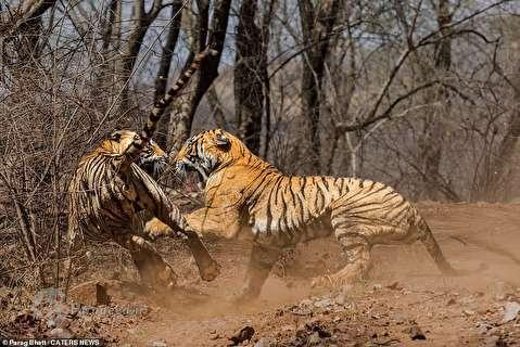 نبردِ تنبهتنِ مادر و دختر بر سر قلمرو