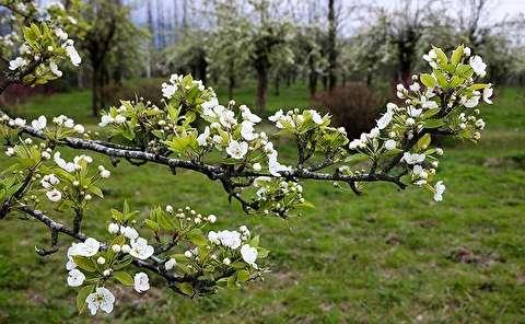طبیعت بهاری باغات گلابی - گیلان