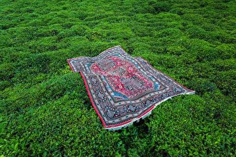 برداشت چای بهاره در گیلان