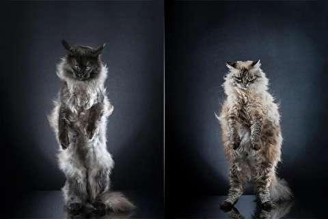 گربههای ایستاده