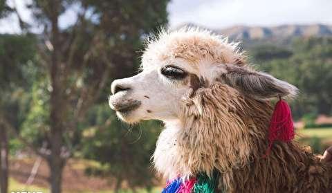 «لاما» شتر بی کوهان