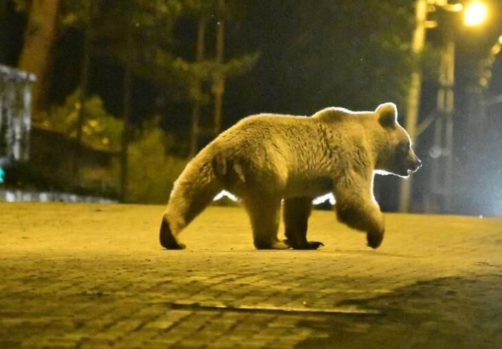 قدم زدن خرس درخیابانهای ترکیه+عکس