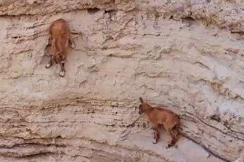 فرار کّره بز کوهی از دام روباه + فیلم
