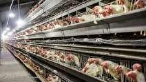 اعلام نرخ جدید مصوب مرغ تا 10 روز آینده