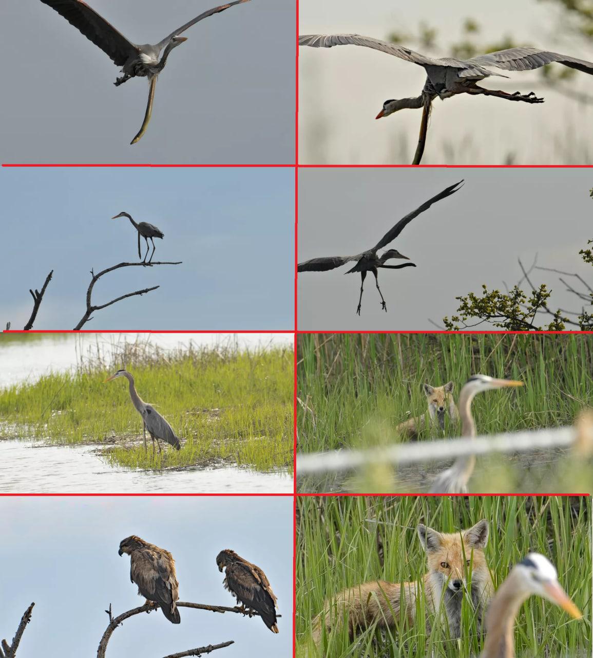 تصاویری باورنکردنی از ضحاک پرنده + عکس