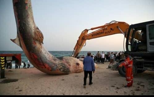 مرگ غم انگیز یک نهنگ در سواحل جزیره کیش + عکس